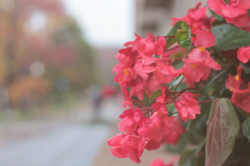 Red flowers growing beside a sidewalk.